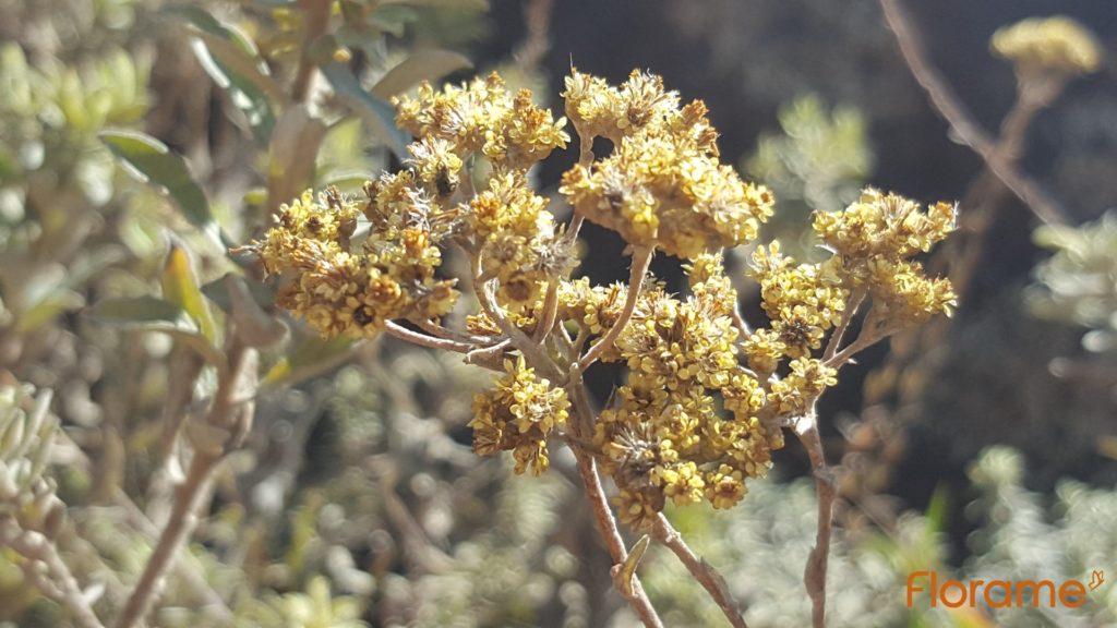 Hélichryse Bractéiferum