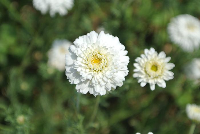 camomille-fleur1