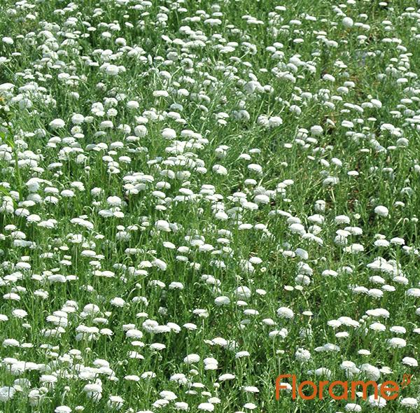 champ de camomille romaine bio