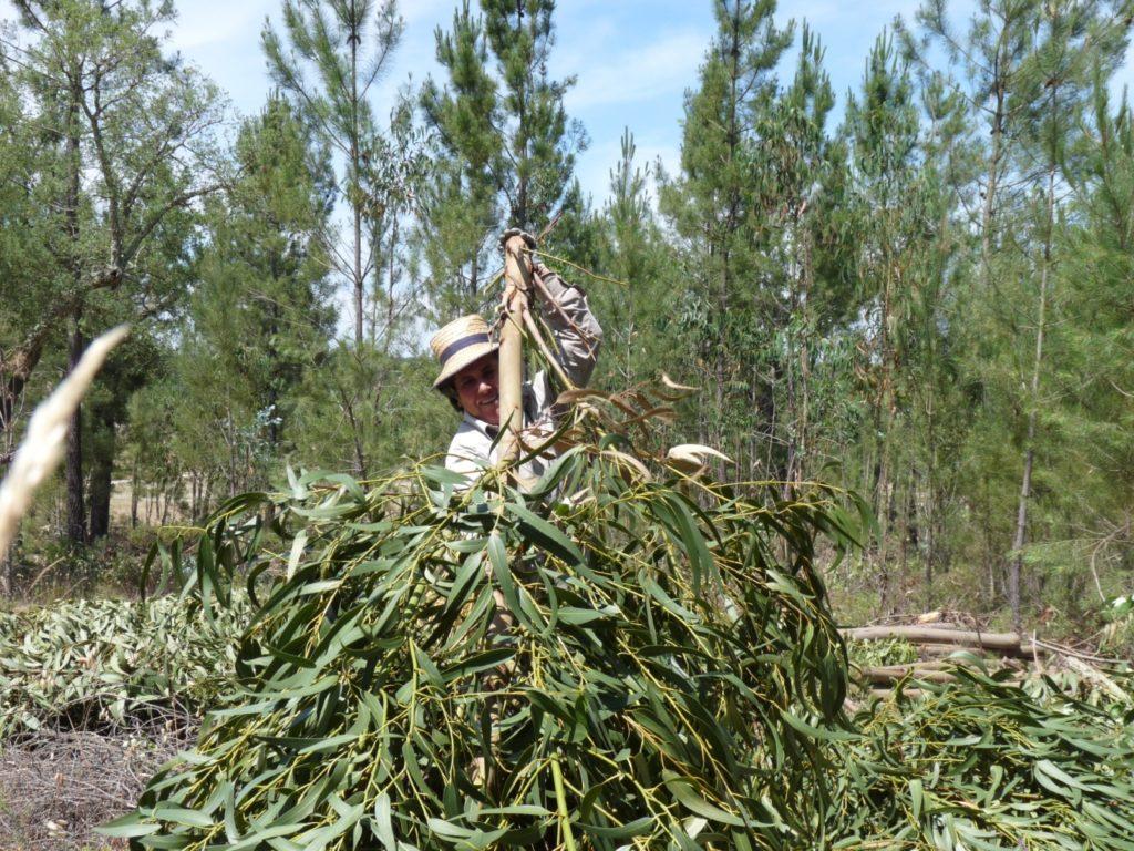 feuilles eucalyptus au portugal