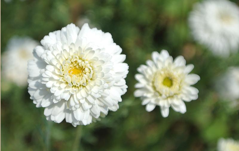 fleur-camomille-romaine