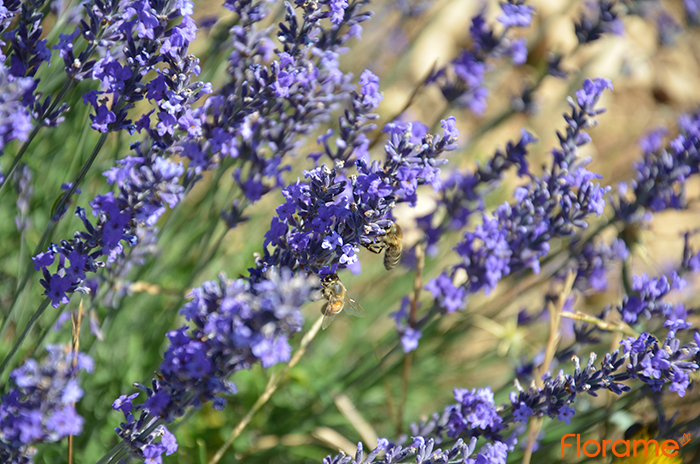 lavande-avec-abeille