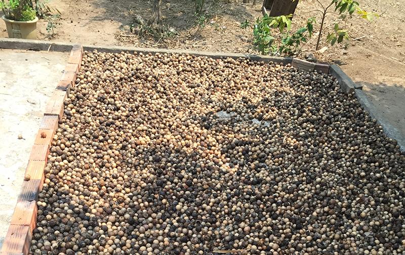 noix-de-calophyllum